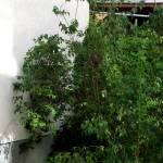 Habicht-Jungvogel im Gebüsch vor einer Hauswand.